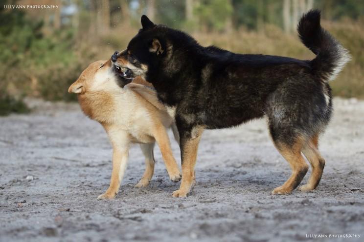 Yori en Kingo. Ze vechten niet tot de dood, maar spelen zich rot. Voor niet-kenners kunnen spelende shiba's angstaanjagend overkomen.