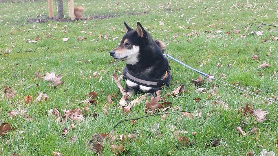 Shiba eerste hond