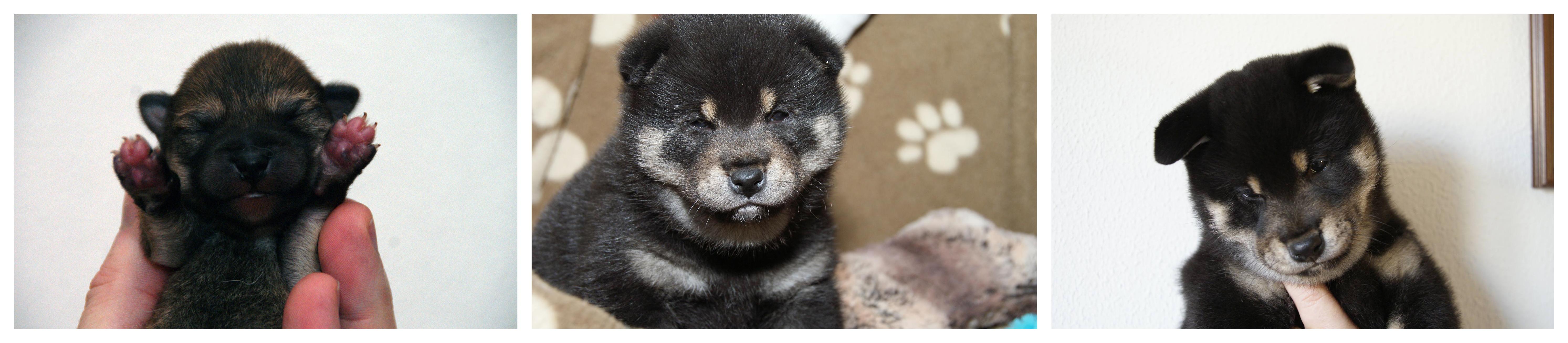 Bij Black and Tan pupjes zie je het Urajiro heel goed tot ontwikkeling komen in de eerste acht weken.