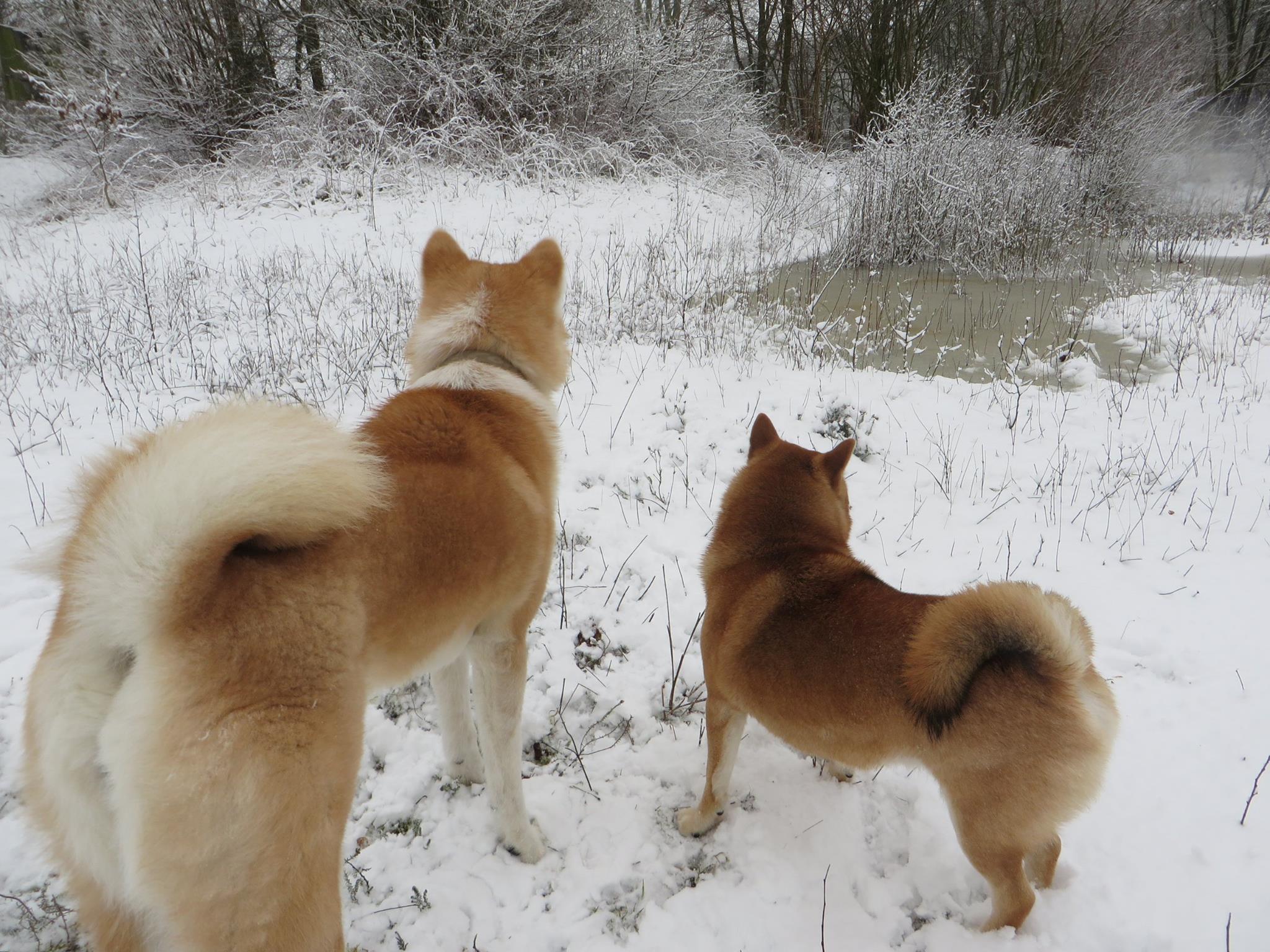 honden sneeuw